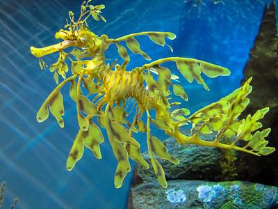 LEAFY SEA DRAGON - WESTERN AUSTRALIA