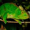 Female Parson's chameleon (Calumma parsonii)