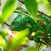 Parson's chameleon (Calumma parsonii)