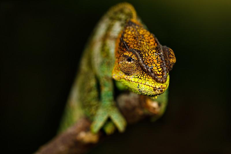 Amber Mountain chameleon (Calumma amber)
