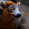 A male crowned lemur (Eulemur coronatus)