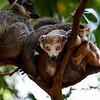Crowned lemurs (Eulemur coronatus)