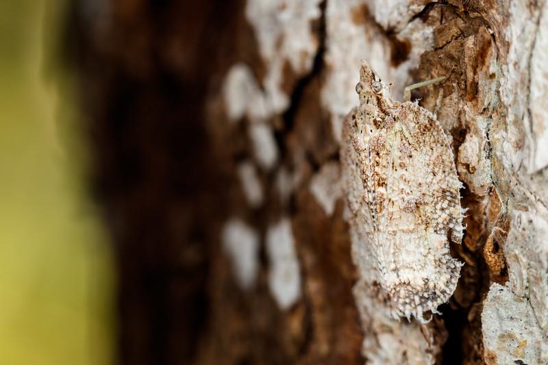 Shield/tree bug, perfectly camouflaged in Andasibe-Mantadia National Park, eastern Madagascar.