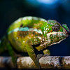 Panther Chameleon (Furcifer pardalis) under moonlight