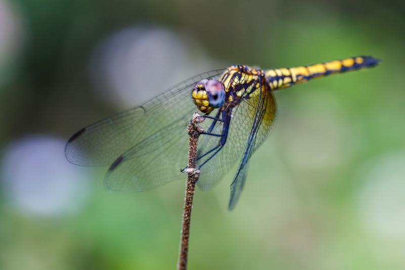 Dropwing dragonfly