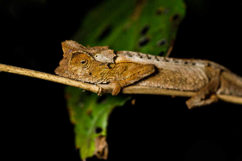 A brown dwarf chameleon (Brookesia griveaudi), which when still can do an excellent imitation of a dead leaf