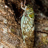 Cicada (tree bug), on the island of Nosy Be