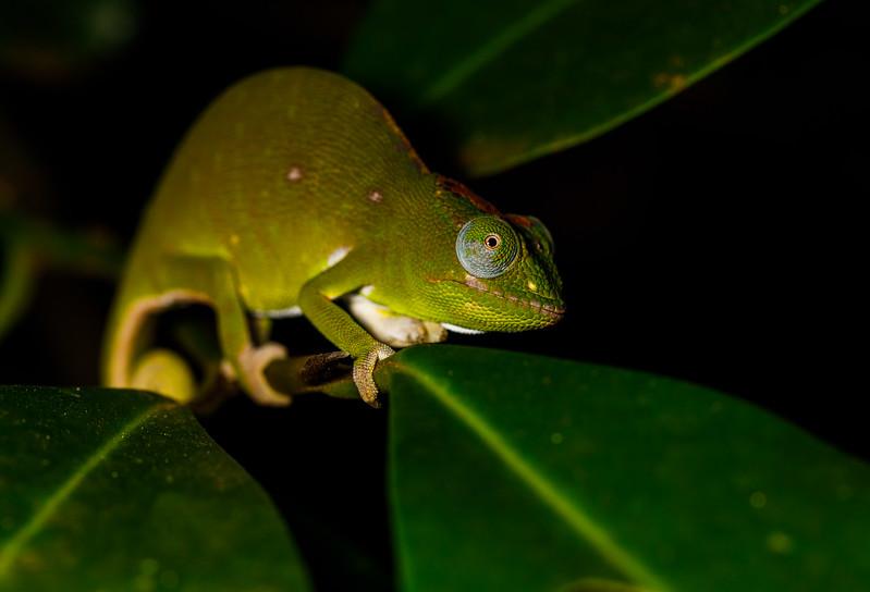 Petter's chameleon (Furcifer petteri), female, Amber Mountain National Park
