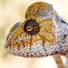 A young male Oustalet's Chameleon (Furcifer oustaleti)