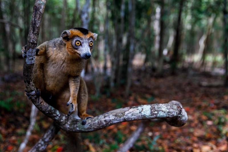 A male crowned lemur (Eulemur coronatus)