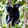 An indri in the Andasibe-Mantadia National Park, eastern Madagascar