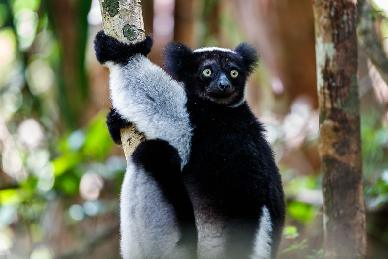 An indri in the Andasibe-Mantadia National Park, eastern Madagascar