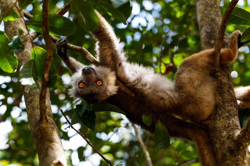 A black lemur, Eulemur macaco
