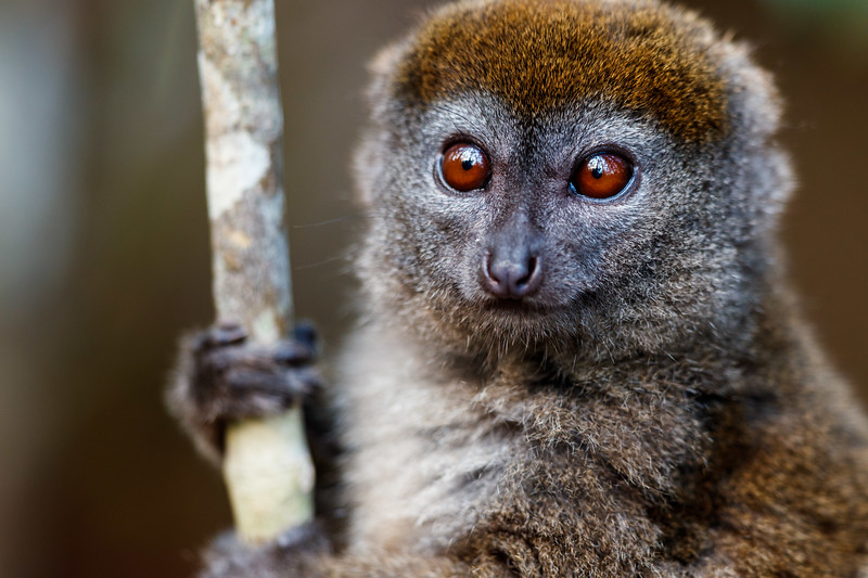 Bamboo lemur (Hapalemur griseus) in eastern Madagascar