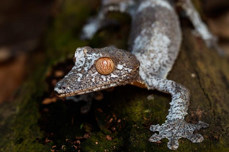 Leaf-tailed gecko (Uroplatus fimbriatus)