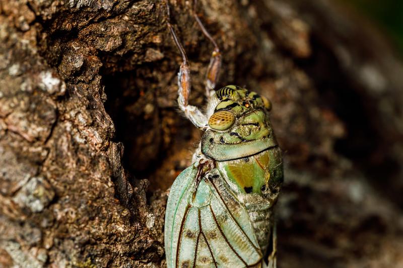 Cicada (tree bug), on the island of Nosy Be