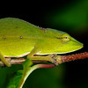 Perinet chameleon (Calumma gastrotaenia) in Andasibe-Mantadia National Park