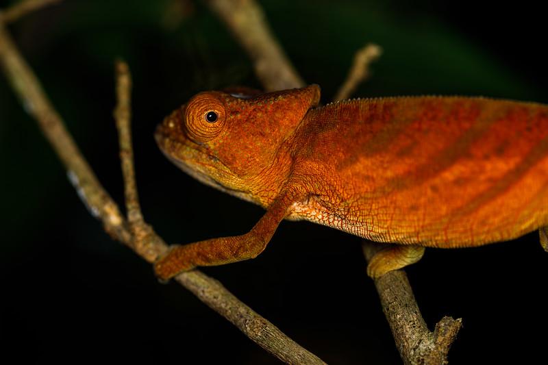 Juvenile female Parson's chameleon (Calumma parsonii cristifer)