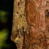 Fringed leaf-tailed gecko (Uroplatus sikorae)