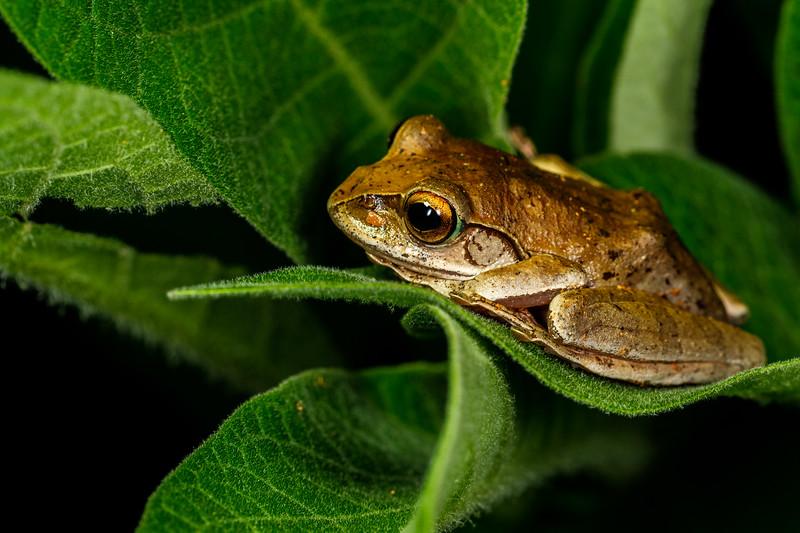 Madagascar brown tree frog (Boophis madagascariensis), Andasibe-Mantadia National Park