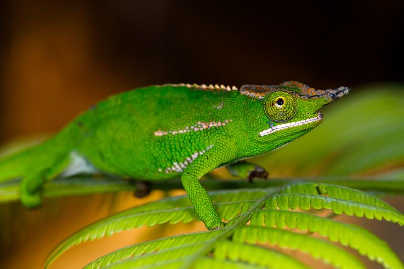 Petter's white-lipped chameleon (Furcifer petteri)