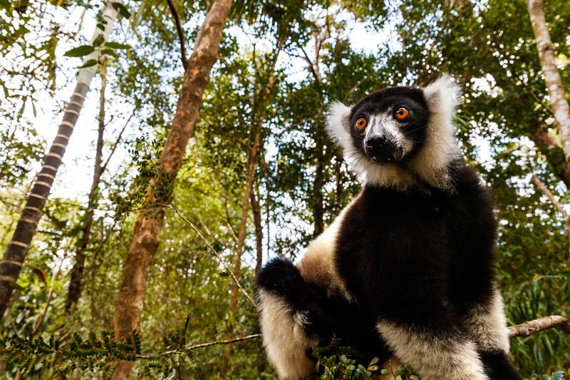 Black & white ruffed lemur (Varecia variegata)