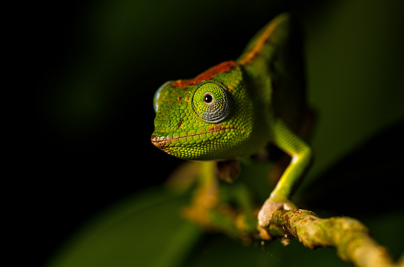 A female Petter's chameleon (Furcifer petteri)
