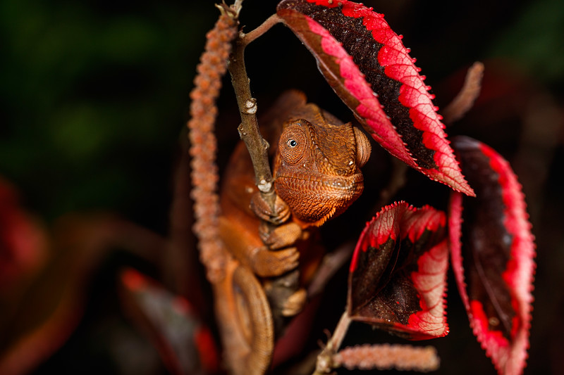 Female Panther chameleon (Furcifer pardalis)