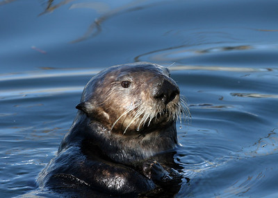 SEA OTTER - MONTEREY, CALIFORNIA