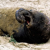 ELEPHANT SEAL - NORTHERN CALIFORNIA
