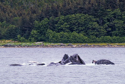 HUMPBACK WHALES BUBBLE NET FEEDING - ALASKA