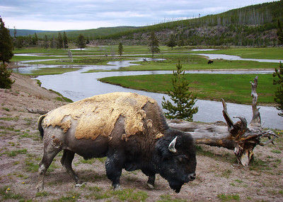 AMERICAN BISON - YELLOWSTONE