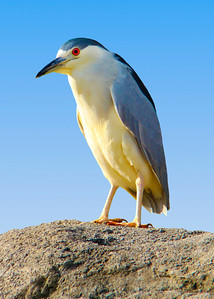 BLACK CROWNED NIGHT HERON - CALIRORNIA