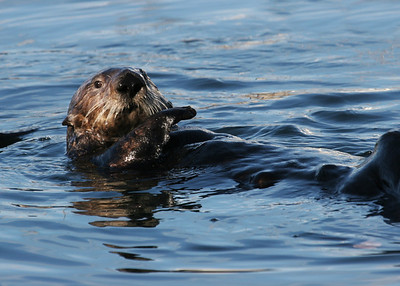 SEA OTTER - MOSS LANDING, CALIFORNIA
