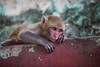 Macaque monkey on the climb up Mount Popa - Myanmar
