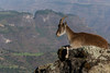 The endangered Walia ibex (Capra Walie), Simien Mountains, Ethiopia