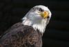 Bald eagle (Heliaeetus leucocephalus)
