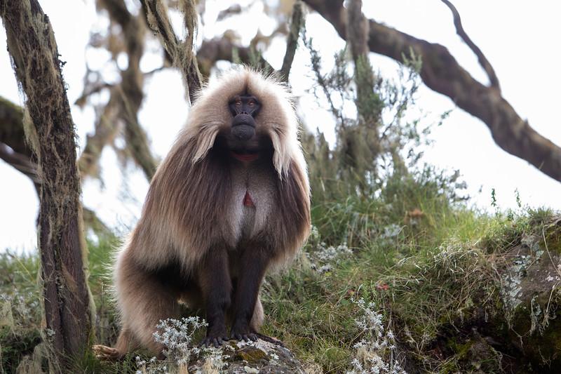 Gelada baboon (Theropithecus gelada) - Bale Mountains, Ethiopia