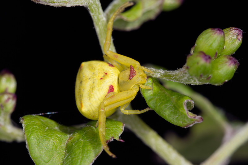 Goldenrod crab spider (Misumena vatia) - Bale Mountains, Ethiopia