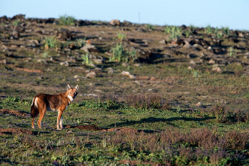 Ethiopian wolf (Canis simensis) - Bale Mountains, Ethiopia