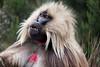 Male gelada baboon (Theropithecus gelada) - Bale Mountains, Ethiopia