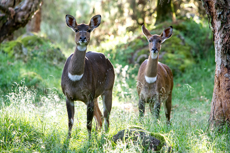 Mountain nyala (Tragelaphus buxtoni) - Bale Mountains, Ethiopia