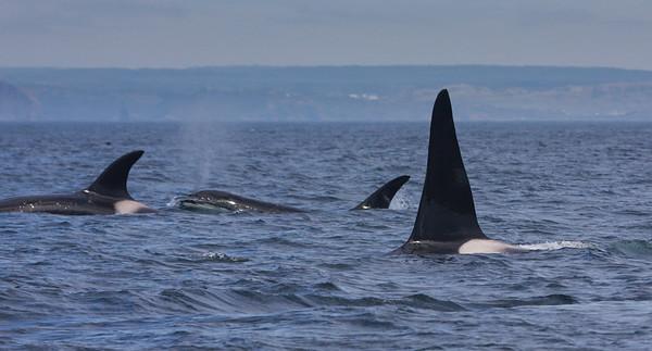 Orca-1747
