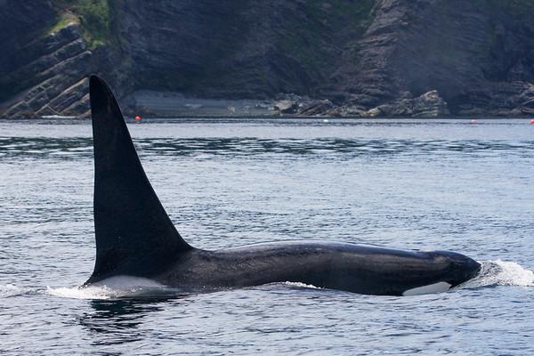Orca-1794