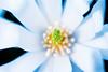 White magnolia flower (central pistil), UK