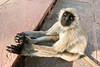 Hanuman monkey (common langur) - northern India