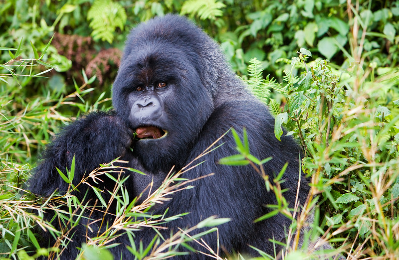 Silverback mountain gorilla - Volcanoes National Park, Rwanda