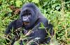 Silverback mountain gorilla - Volcanoes National Park, Rwanda