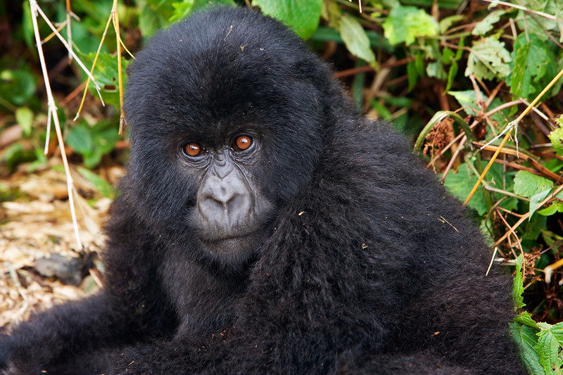 Infant mountain gorilla - Volcanoes National Park, Rwanda