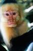 White-faced capuchin monkey - Costa Rica